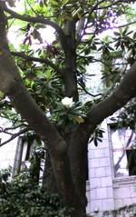 2006627_taisanboku_01