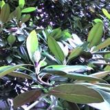 2006627_taisanboku_02